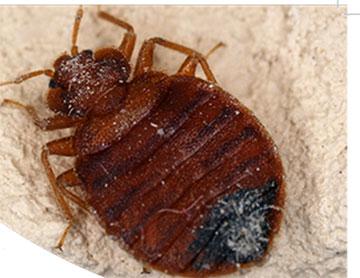 adult bed bug